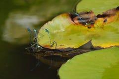 Group of azure damselflies mating Royalty Free Stock Images