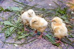 Group of Babies Chickens Royalty Free Stock Photography