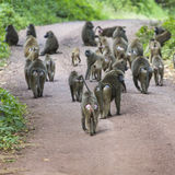 Group of Baboon monkeys in African bush. Lake Manyara National P Royalty Free Stock Photo