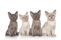 Group of baby animals. Group of Burmese kittens posing on a white background Stock Images