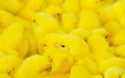 Group of baby chicken Stock Images
