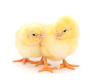 Group of baby chicken Stock Photography
