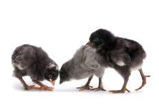 Group baby chicken Stock Photos