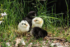 A group of baby chickens. Baby chicks huddled together on grass Stock Photography
