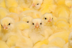 Group of Baby Chicks Stock Photography