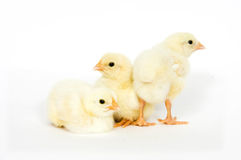 Group of baby chicks Stock Photos