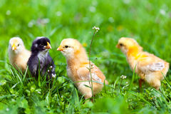 Group of baby chicks in grass Stock Photography