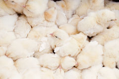 Group of Baby Chicks Stock Image