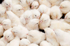 Group of Baby Chicks. Large group of newly hatched chicks on a chicken farm Stock Photos