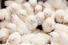 Group of Baby Chicks Royalty Free Stock Image