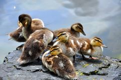 Group of baby ducks on a rock Stock Photography
