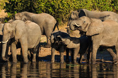 Group and baby elephant drinking Chobe Africa Royalty Free Stock Photos
