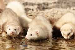 Group of baby ferrets on stone beach near water royalty free stock image