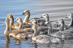 Group of Baby Geese swimming together on calm waters Royalty Free Stock Images