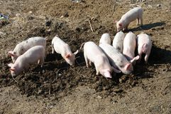 Group of baby pigs Royalty Free Stock Photo