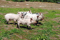 Group of baby pigs Stock Image