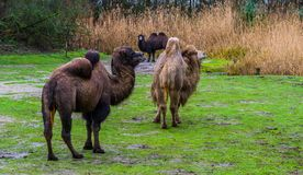 Group of bactrian camels together in a pasture, Diverse colors, Domesticated animals from Asia. A group of bactrian camels together in a pasture, Diverse colors stock photos