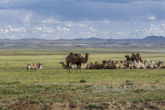 Group of bactrian cammels in the steppe Royalty Free Stock Photos