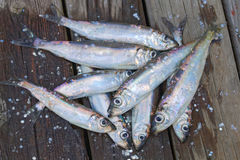 Group of baltic herring. Group of newly catched baltic herring laying on the bridge Stock Images
