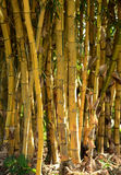 Group of bamboo plants growing in the rainforest Stock Image