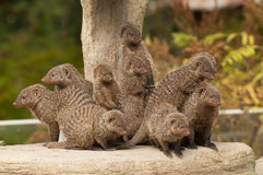 Group of Banded Mongoose. (Mungos mungo Royalty Free Stock Image
