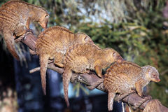 Group of the banded mongoose Mungos mungo. The banded mongoose live in groups and are social animals Stock Photo