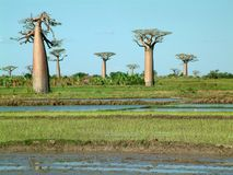 Group of baobabs - some noise visible. Baobab trees in Madagascar Royalty Free Stock Photo