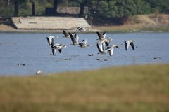 Group of bar headed goose. Family of bar headed goose flying on water surface. this is the migratory bird in in India. this picture click at menar, rajasthan stock photo