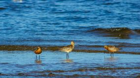 Group Bar-tailed Godwits or Limosa lapponica walk at seashore in waves, portrait, selective focus, shallow DOF.  royalty free stock image