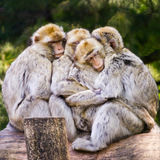 Group of barbary macaque cuddling Stock Photos