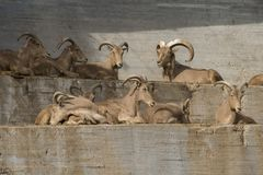 Group of barbary sheeps in a wall. Group of barbary sheeps, males and females in a wall, also known as arrui Royalty Free Stock Image