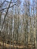 Group of bare trees in high mountains Royalty Free Stock Image