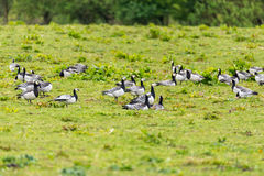 Group of barnacle geese Royalty Free Stock Photography
