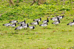 Group of barnacle geese Royalty Free Stock Image