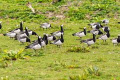 Group of barnacle geese Royalty Free Stock Photo