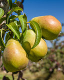 Group of Bartlett pears in an orchard. Group of Bartlett pears on the tree in a pear orchard Royalty Free Stock Photos