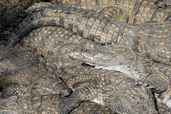 Group of basking crocodiles Royalty Free Stock Image
