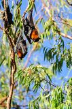 Two bats in a gum tree at Katherine Gorge, Australia Royalty Free Stock Photo