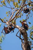 A group of Bats hanging in a gum tree at Katherine Gorge, Australia Royalty Free Stock Image