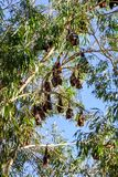 A group of Bats hanging in a gum tree at Katherine Gorge, Australia Stock Photography