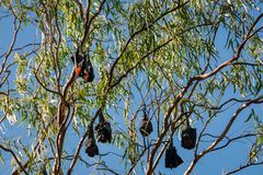 A group of Bats hanging in a tree at Katherine Gorge, Australia stock photos