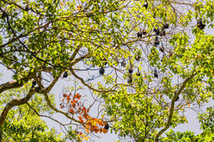 Group of Bats sleeping on tree. royalty free stock image
