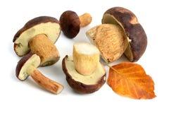 Group of Bay Bolete mushroom on white isolated background Royalty Free Stock Photos