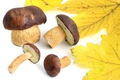 Group of Bay Bolete mushroom on white isolated background Royalty Free Stock Images