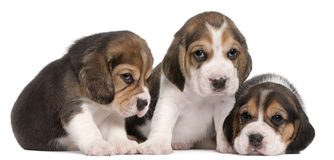 Group of Beagle puppies, 4 weeks old. In front of white background Royalty Free Stock Photography