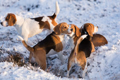 A group of Beagles Stock Photo