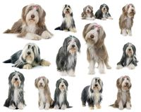 Group of bearded collie. Composite picture of bearded collie in front of white background royalty free stock image