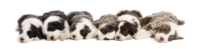 Group of Bearded Collie puppies, 6 weeks old Stock Images