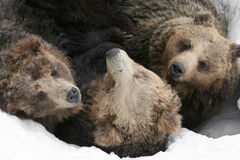 Group of bears. Lying in the snow Royalty Free Stock Image