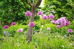 A group of beautiful allium flowers Royalty Free Stock Images
